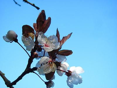 cirera, Sakura, flor, primavera, natura, Parc