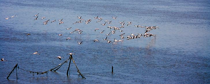 Фламинго, стадо, стичат, плаващи, птици