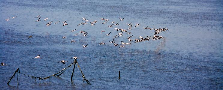 flamingi, stado, uciekają, pływające, ptaki