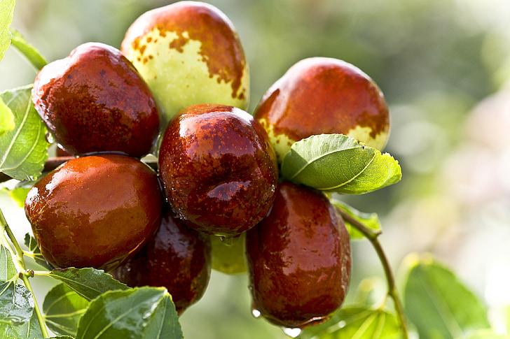 jujube, mad, grøn datoer, dato træ, moden frugttræer, saftig frugt, sundhed