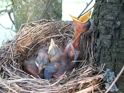 nest, bird, beak, blackbird