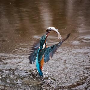 рибарче, птица, Alcedo във това, крилати, животните, пернат, фауна