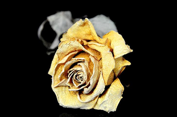 Rosa, sec, trist, groc, flor, natura, planta