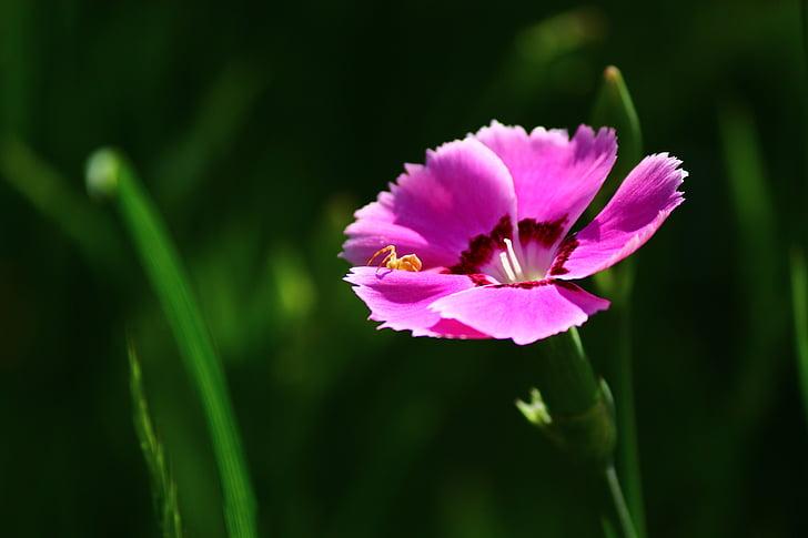 karanfil kokulu, Platon, çiçek, Bahar, Konya