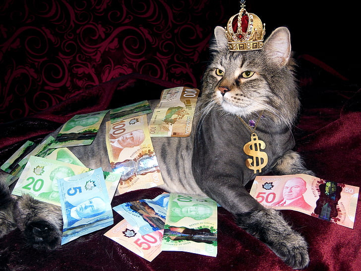 diners, gat, riquesa, diners canadenc, home despullat, gat domèstic, animals de companyia