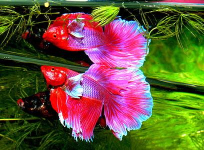 betta splendens, siam fighter, fish, tropical, aquarium, gold fish, siamese fighting fish