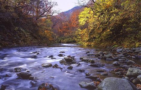 Rio, floresta, folhas de outonais, tarde de outono, Shirakami-sanchi, região de Património Mundial, Japão