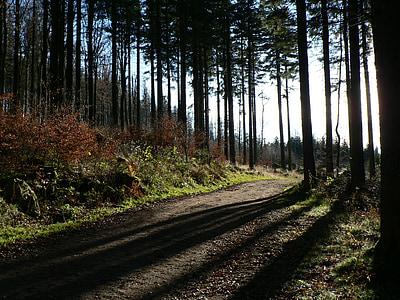 bosc, arbres, natura, regió d'Alsàcia, Avet, llum i ombra, contra la llum