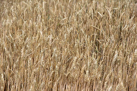 cereals, barley, spike, field, nourishing barley, cornfield, grain