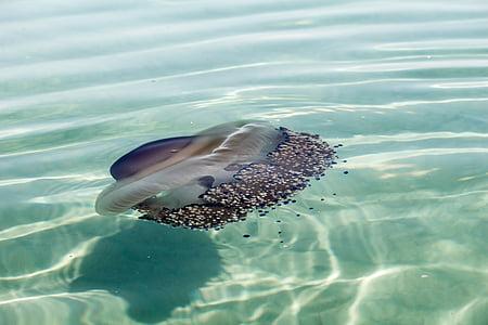 Meduza, more, stvorenje, morski život, oceana, akvatičnih životinja, cnidarian