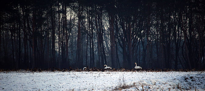 wild geese, swans, whooper swan, flock of birds, winter, snow, migratory birds