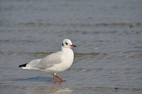 นกนางนวล, นก, นกน้ำ, น้ำ, ทะเลบอลติก, ปิด, ชายฝั่ง
