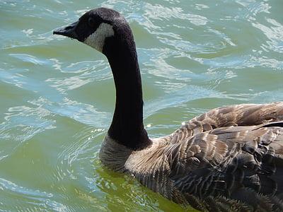 水鳥, 湖, 水, 野生動物, 自然, 動物, 鳥