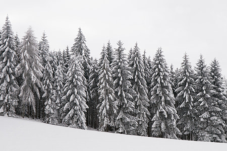 forest, wintry, snowy, winter magic, trees, winter, snow