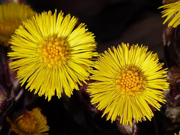 pota de cavall, flor, macro, tancar, flor, flor, groc