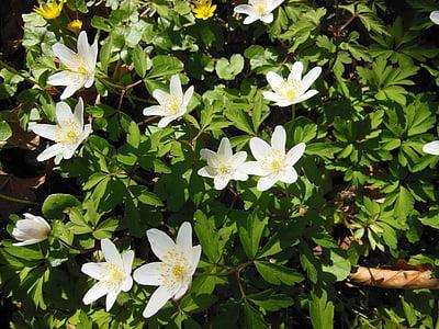 gozdnih tleh, pomlad, anemone lesa, Anemone nemorosa, cvetje, rastline, narave