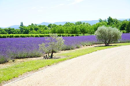 kelio, prieigos, lauko, levandų auginimas, auginimo, žemės ūkis, Levanda