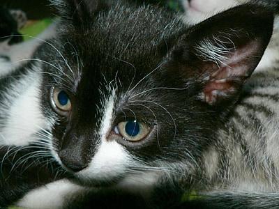 子猫, 顔, かわいい, ネコ科の動物, キティ, 肖像画, ホワイト