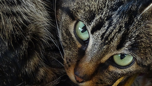 cat, animals, cat eyes, animal, domestic Cat, fur, pets