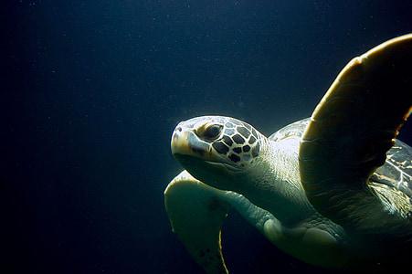 черепаха, meeresbewohner, Морська життя, акваріум, підводний, море, тварини