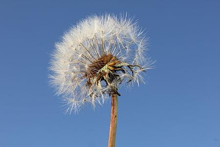 Одуванчик, Солнце, растения, одуванчики, цветок, Природа, свет