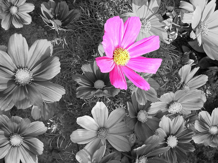 cosmea, blossom, bloom, cosmos, black and white, pink flower, nature