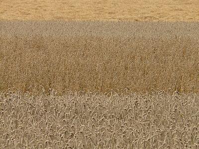 camps, cereals, gra, camps de cereals, camps de cereals, blat, civada