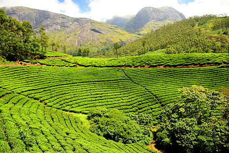tea plantation, tea garden, india, agriculture, nature, rural Scene, hill