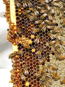 abelles de mel, insecte, insecte social, rusc, abelles, rusc