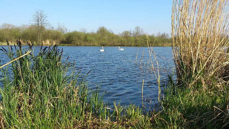 лебед двойка, лебеди, лебед, езеро, Peene река, двойка