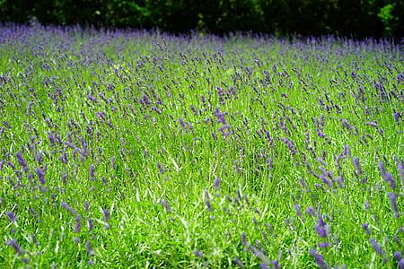 Λεβάντα, Λεβάντα πεδίο, λουλούδια, μωβ, άγριο φυτό, Wildblue, άνθη λεβάντας