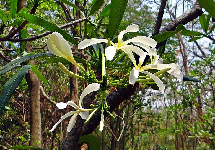 Plumeria, Frangipani, smalle petal frangipani, smalle petal plumeria, Plumeria stenopetala, blomst, flora