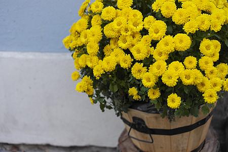 krüsanteem, lilled, lilled, kollased krüsanteemid, Korvõielised, kollane lill, taimed