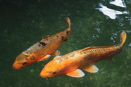 koi, fish, water, freshwater fish, fish thick, wet