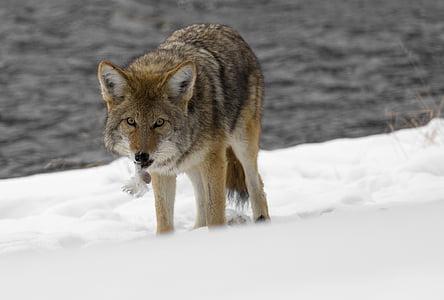 coyote, wildlife, nature, park, wild, canine, predator