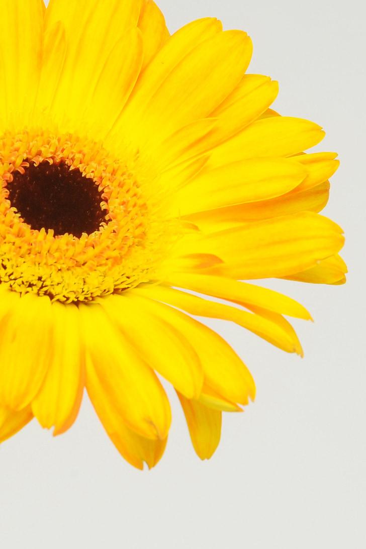 Gerbera, germini, flor, primavera, flor, flor, afecte