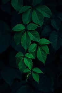 verd, fulla, planta, fosc, entelar, natura, color verd