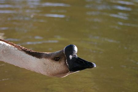 goose, bird, nature, wildlife, waterfowl, beak, waterbird