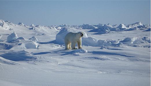 bear, arctic, landscape, nature, mammal, snow, wild