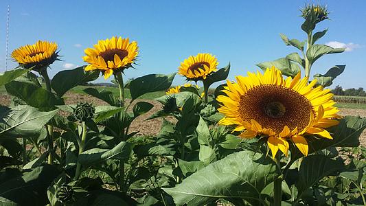 päevalill, Sun flower, suve lõpus, kuldkollane, lill heinamaa, kollane lill, suvel