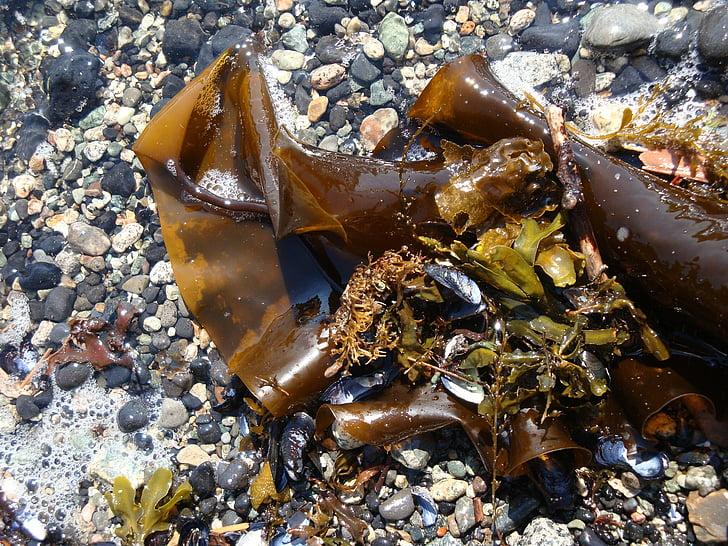 pruunvetikas, lihased, kalda, Sea, kivid, Ocean, loodus