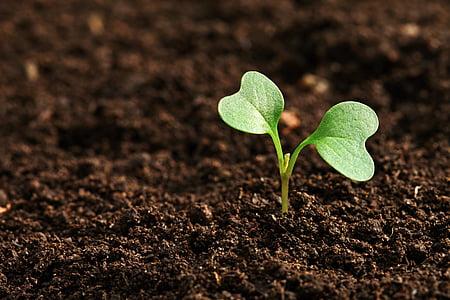 camp, l'agricultura, terra, creixement, brutícia, plàntula, fulla