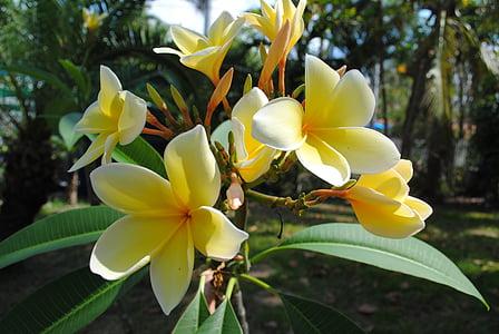 프 르 메리 아, plumeria, 노란색, 꽃, 열 대, 자연, 꽃