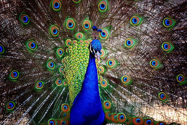 peacock, male, bird, animal, feathers