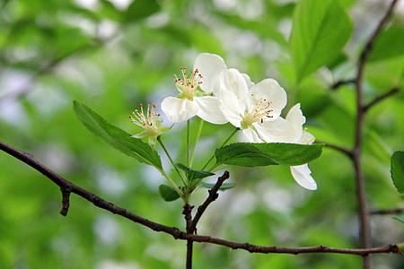 Zelená, begónie kvet, čerstvé