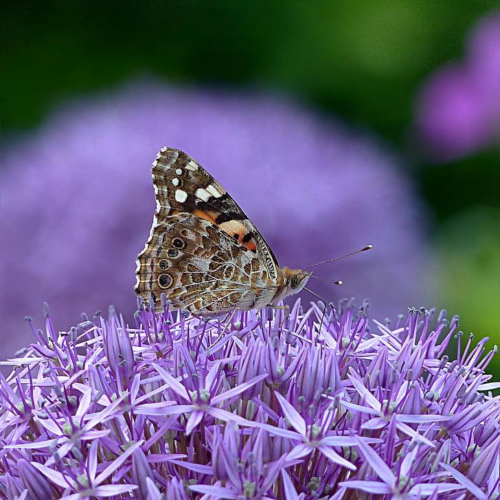 hmyzu, motýľ, letné, kvet, fialová, jedno zviera, zvieratá v divočine