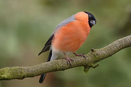 ptica, zimovka, Mužjaci, vrt, grana, ubirati, Zatvori