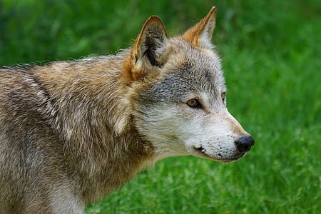 Wolf, Canis lupus, Deer park, lihasööja, loodus, looma, koer
