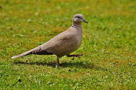 Bahianjokihaukka, Dove, lintu, sulka, Luonto, lentää, siipi