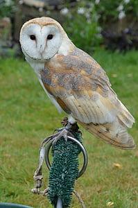 barn owl, owl, bird, falconry, animal, nature, bird of Prey